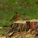 American robin on a stump