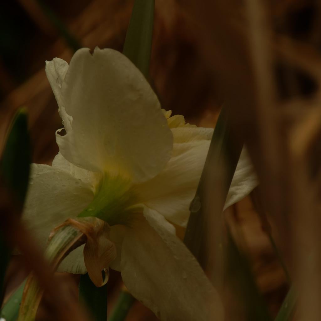 daffodil in shadows by rminer