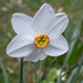 Narcissus at Wimpole Hall
