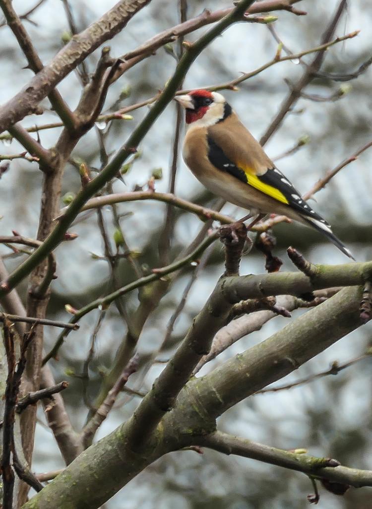 Goldfinch by stiggle