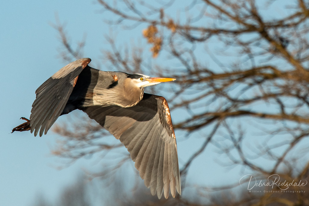 Blue Heron Flyby by dridsdale