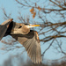 Blue Heron Flyby