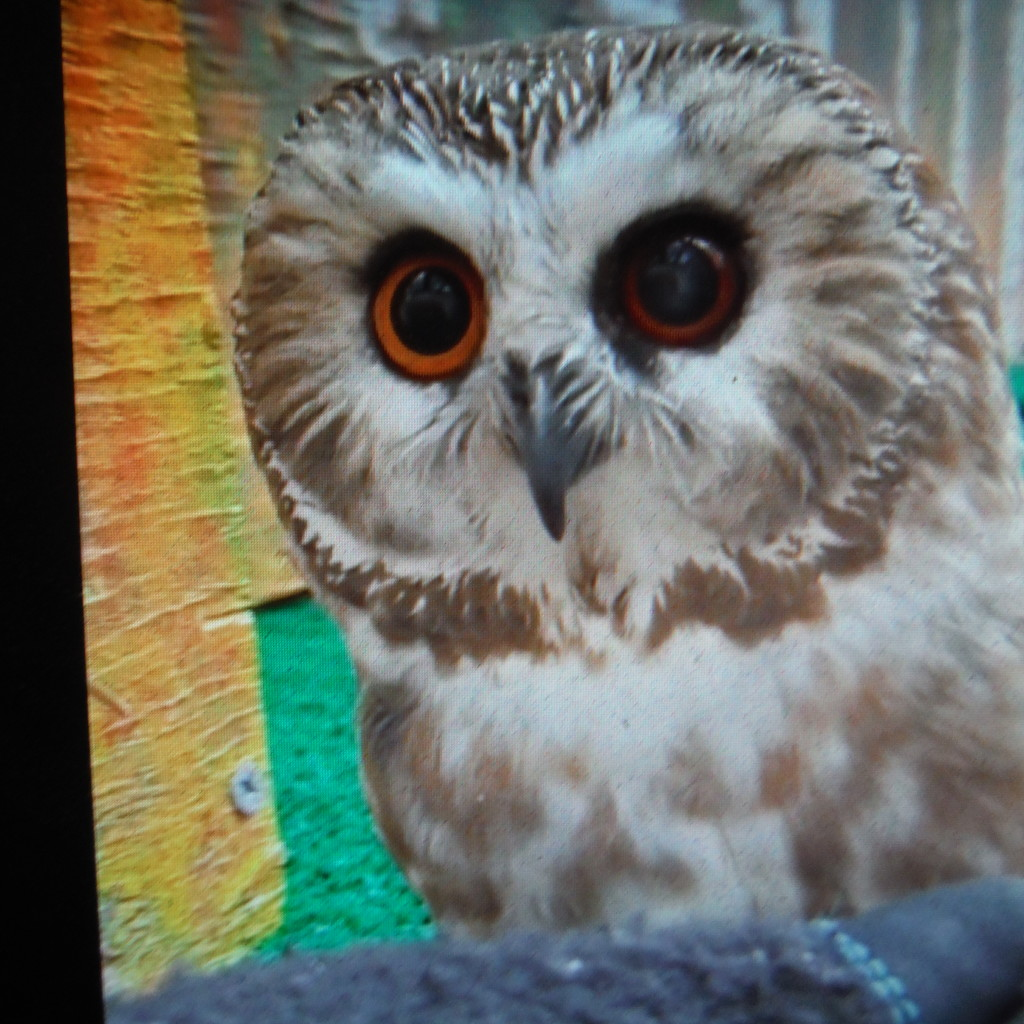 Owls #3: Tootsie by spanishliz
