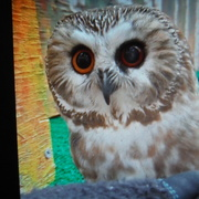 11th Apr 2021 - Owls #3: Tootsie