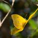 sulfur butterfly by dogwoman