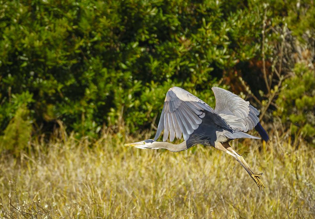 Blue Heron in Flight  by jgpittenger