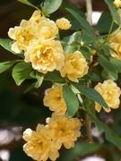 12th Apr 2021 - Creamy yellow blossoms...