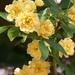 Creamy yellow blossoms...