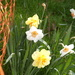""" Different Types Of Daffodils"