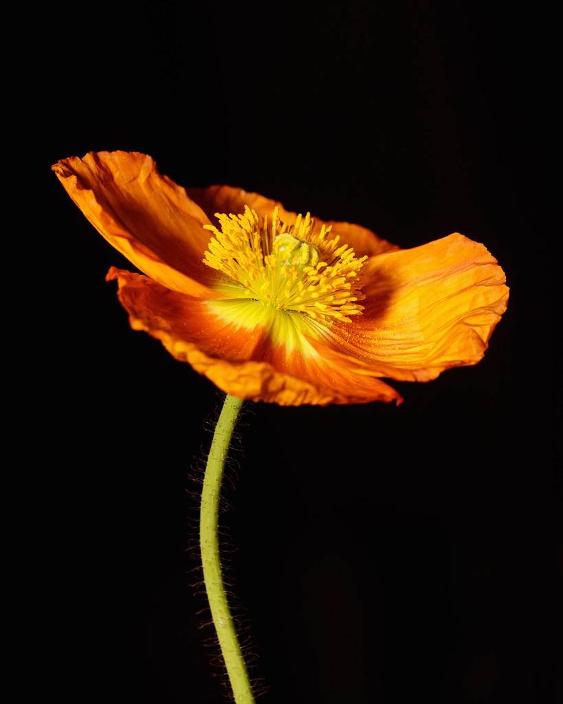 poppy by aecasey