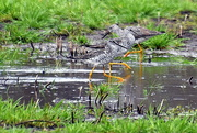 11th Apr 2021 - Three Yellowlegs Looking for Their Dinner