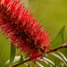 Wet Bottlebrush!