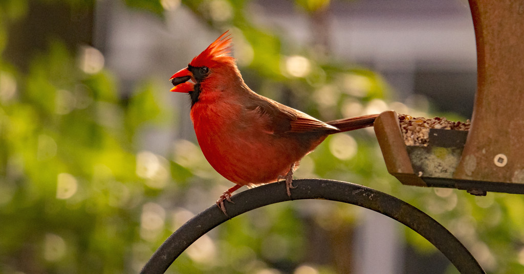 Cardinal at the Feeder! by rickster549