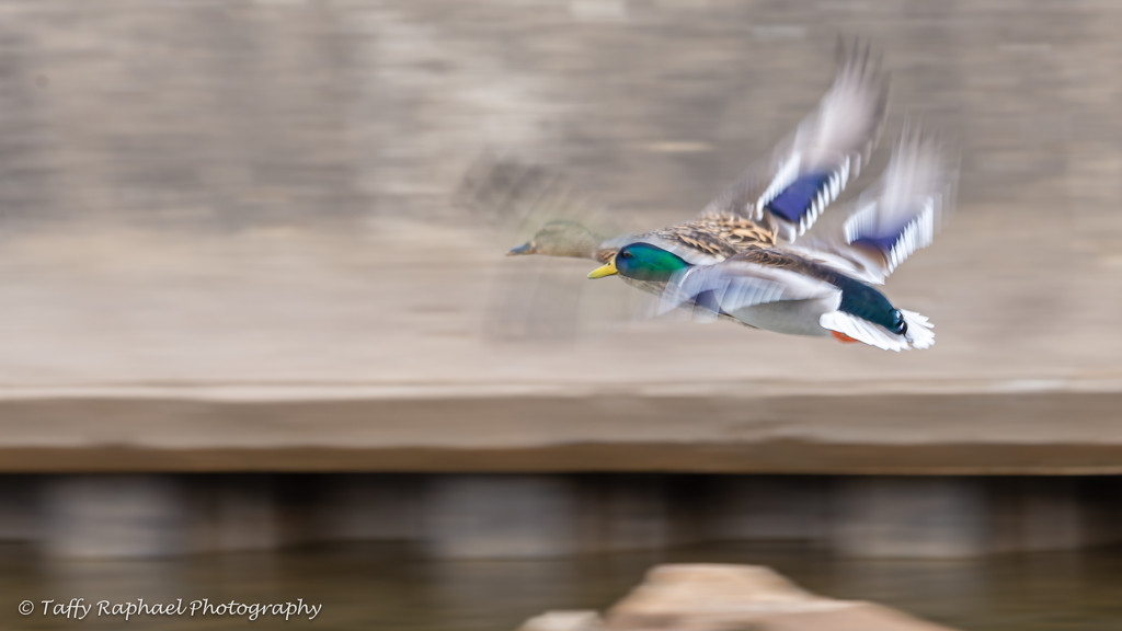 Panning with Ducks by taffy