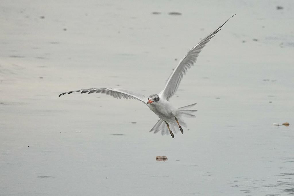 Young Caspian tern by maureenpp