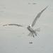 Young Caspian tern
