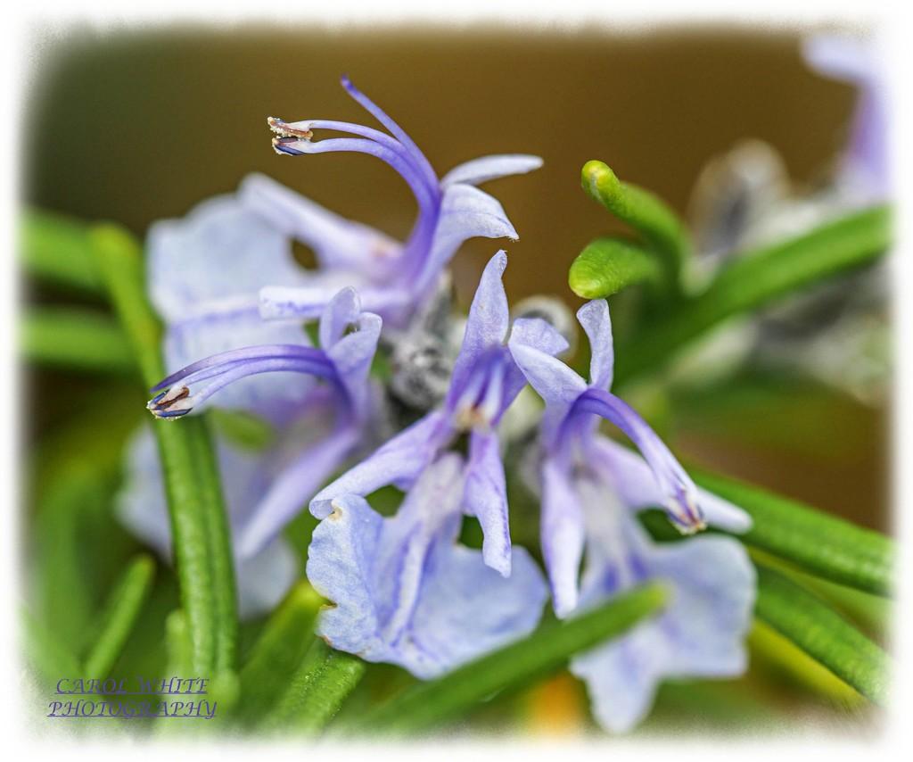 Rosemary by carolmw