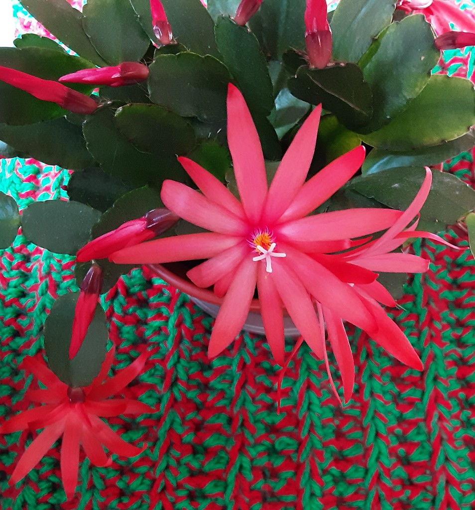 Our Easter flowering cactus. by grace55