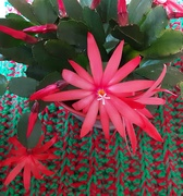 12th Apr 2021 - Our Easter flowering cactus.