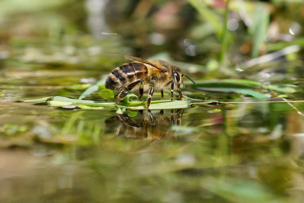 THIRSTY BEE by markp