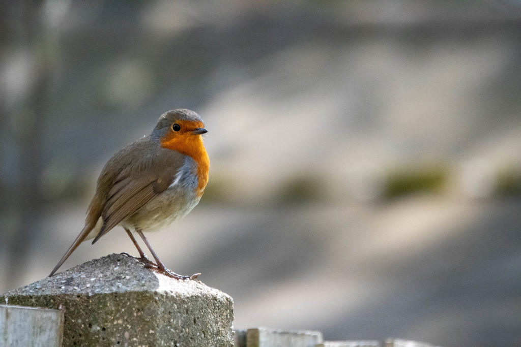 Just a Robin by stevejacob