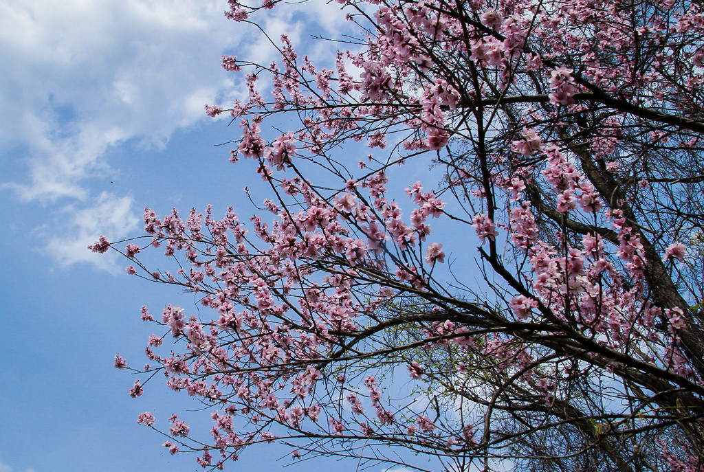 Pink blossoms by mittens