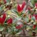Red azalea buds...