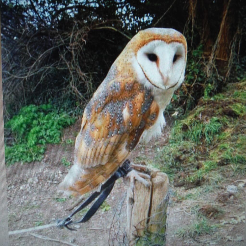 Owls #4 - Barn Owl  by spanishliz