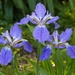 LHG-8397-trio of iris