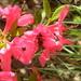 Bee in Pink Azalea