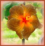 13th Apr 2021 - hibiscus