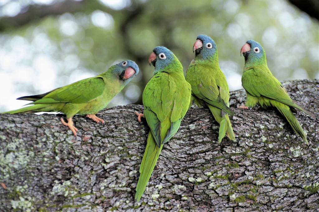 Blue-Crowned Parakeets by chejja