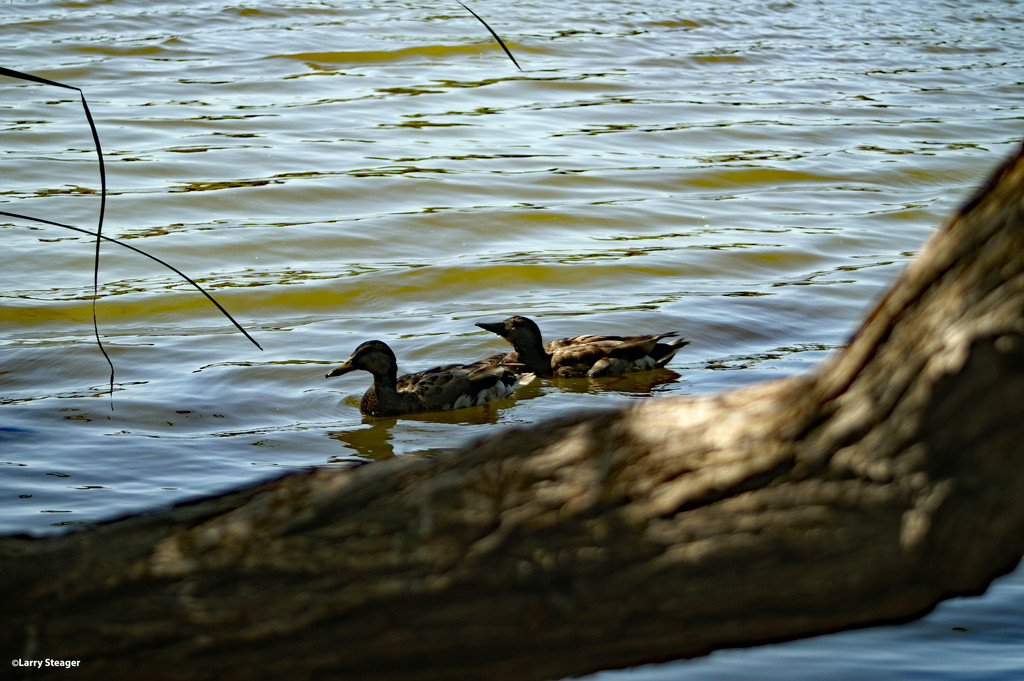 Ducks on a pond by larrysphotos