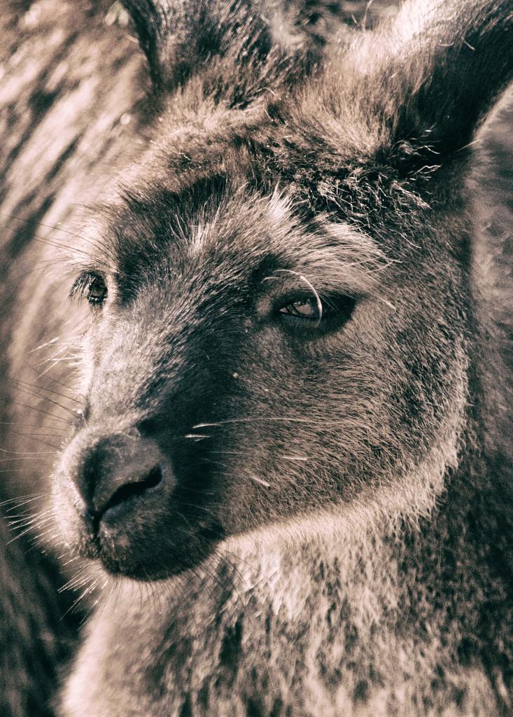 Kangaroo Island Roo by annied