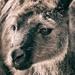 Kangaroo Island Roo