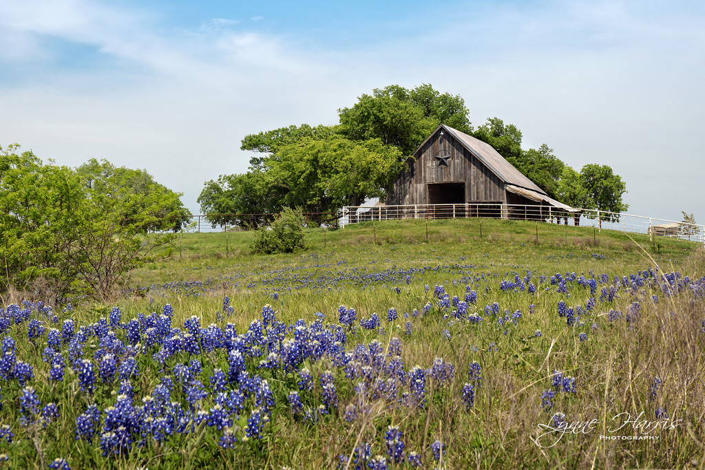 Bluebonnets and Barns by lynne5477