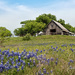 Bluebonnets and Barns