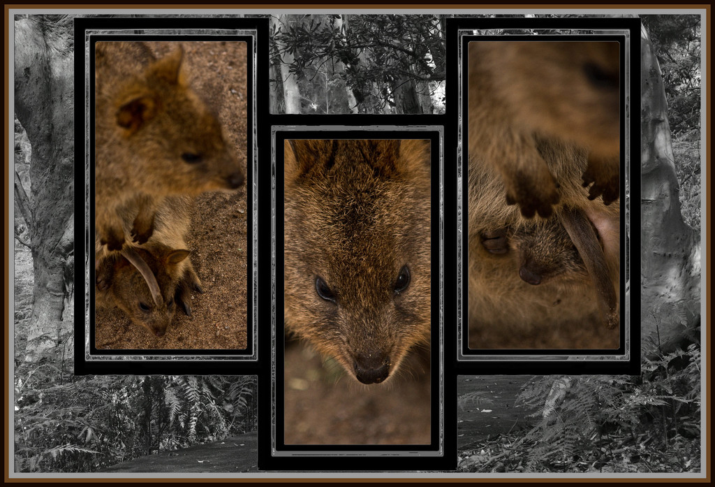 QUOKKA by annied