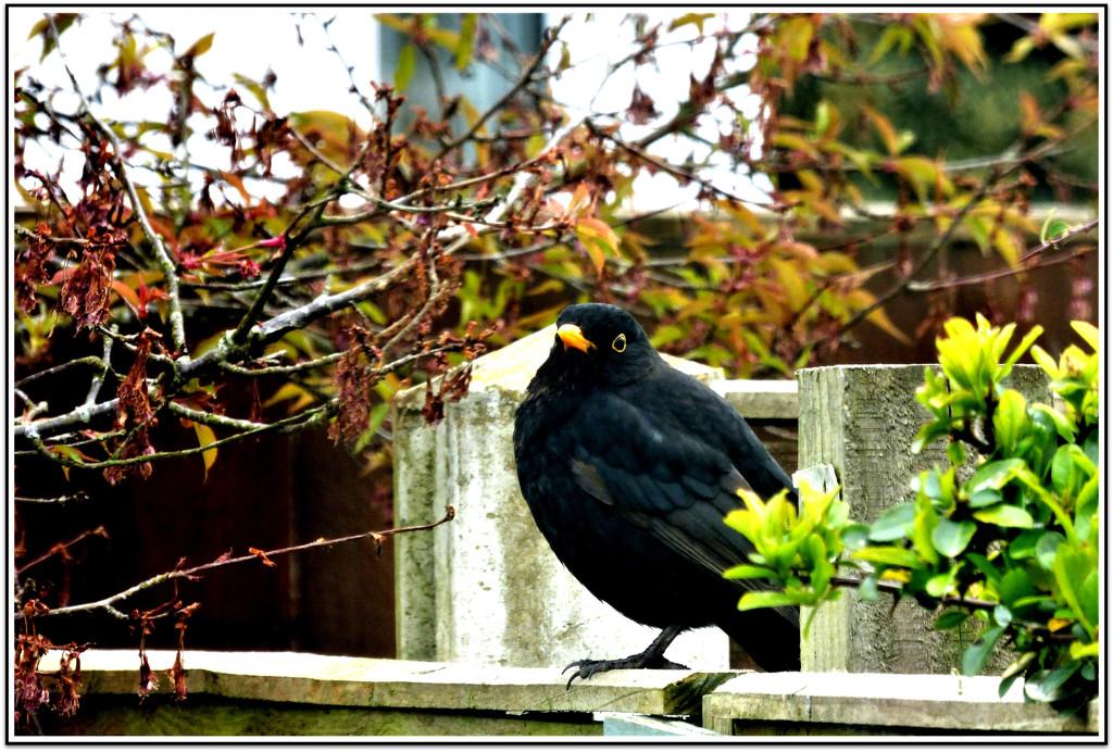 Morning , Mr Blackbird  by beryl