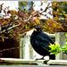 Morning , Mr Blackbird
