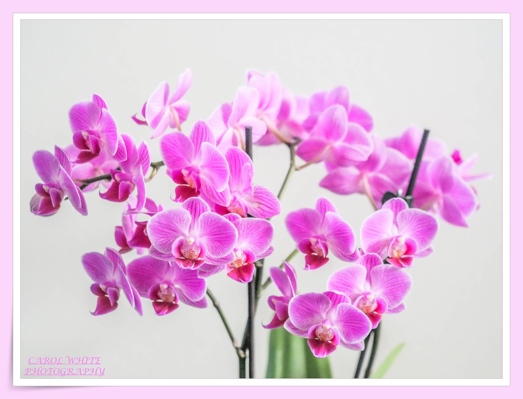 Miniature Orchids by carolmw