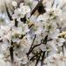 Hedgerow blossom....
