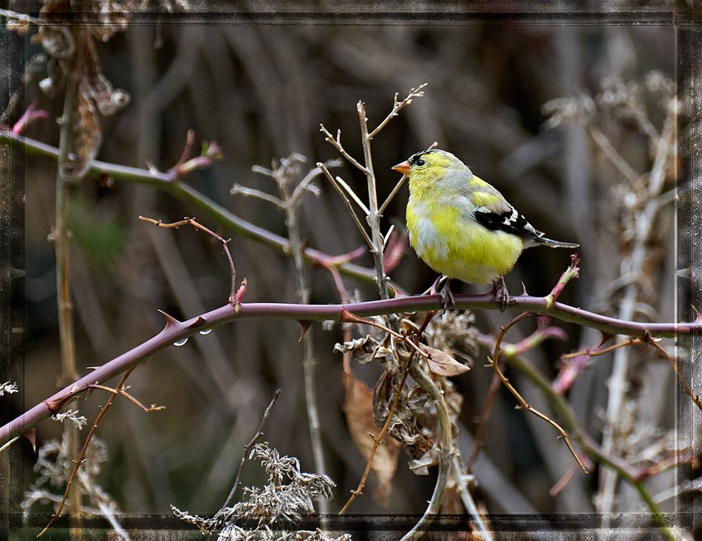 Goldfinch by gardencat