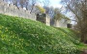 13th Apr 2021 - Daffodils along York City Walls