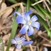 Chionodoxa ('Glory of the Snow')