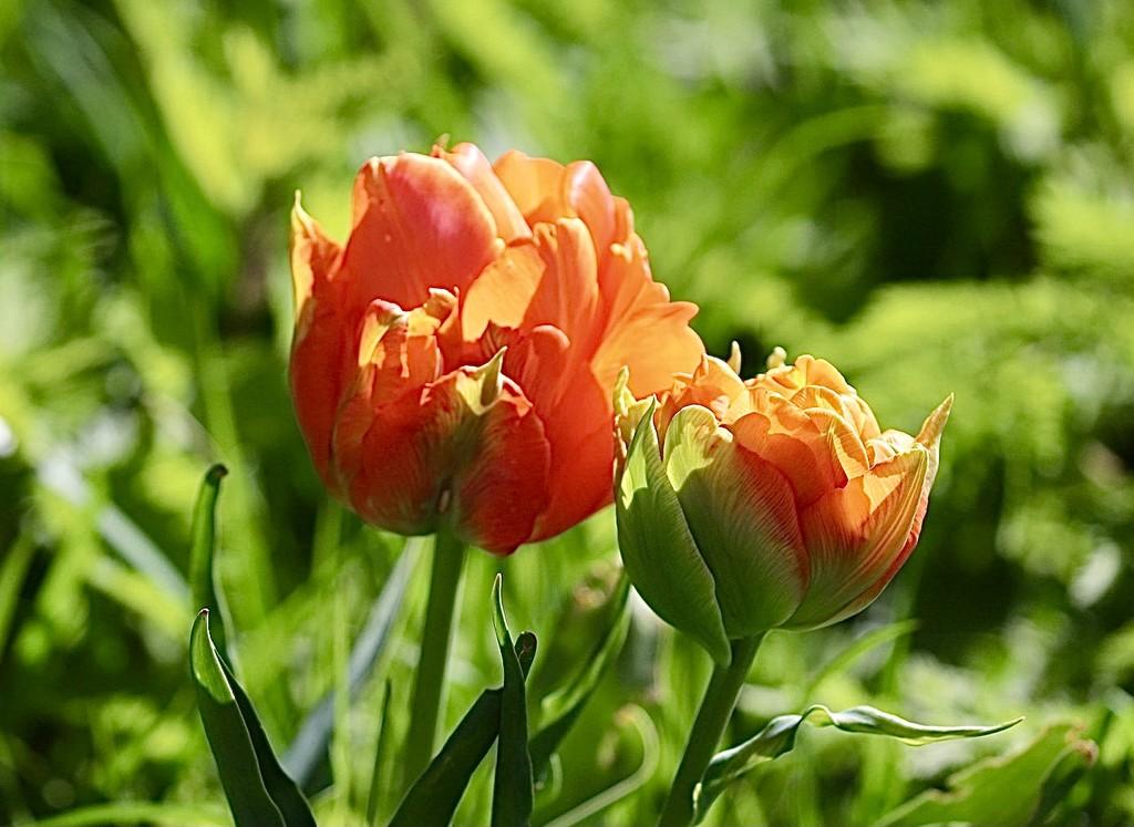 Orange Tulips  by carole_sandford