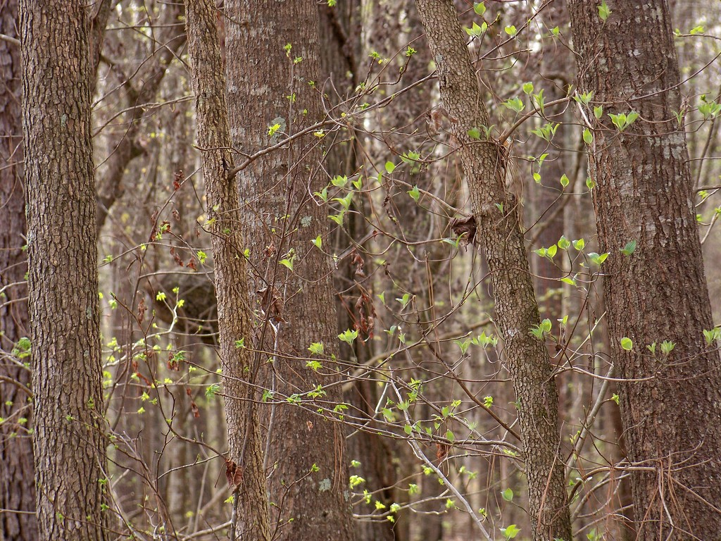 Dogwoods... by marlboromaam