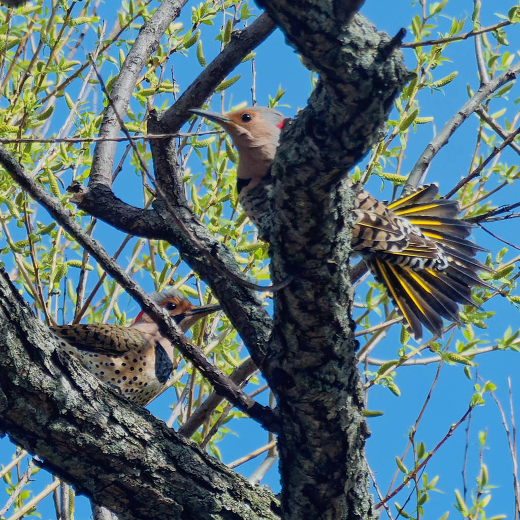 northern flickers by rminer