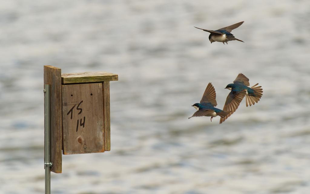tree swallows in flight by rminer