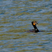 double crested cormorant with fish